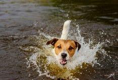 O cão engraçado que joga na água que faz grande espirra Imagem de Stock Royalty Free