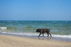 O cão enorme feliz anda apenas Foto de Stock