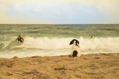 O cão espera o surfista do amigo Imagens de Stock