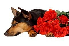 O cão está ansiando Fotos de Stock Royalty Free