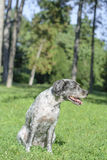 O cão está arfando It's um o dia de verão quente Foco seletivo Foto de Stock