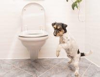 O cão está dançando no toalete - Jack Russell Terrier foto de stock