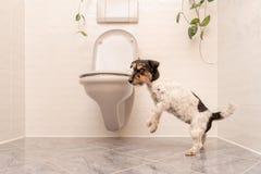 O cão está dançando no toalete - Jack Russell Terrier fotos de stock royalty free