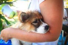 O cão está dormindo após o banho Fotografia de Stock