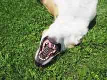 O cão está encontrando-se no seu a parte traseira (35) Fotos de Stock Royalty Free