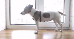 O cão está estando no proprietário de espera da janela filme