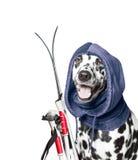 O cão está indo esquiar Fotografia de Stock Royalty Free