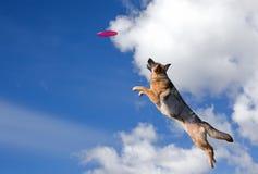 O cão está indo jogar o disco Fotografia de Stock Royalty Free