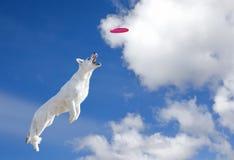 O cão está indo travar o disco no céu Imagens de Stock