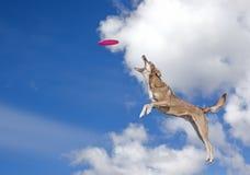 O cão está indo travar o disco no céu azul Fotografia de Stock Royalty Free
