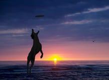 O cão está jogando com o disco na praia no por do sol Imagens de Stock Royalty Free