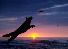 O cão está jogando na praia no por do sol Imagens de Stock Royalty Free