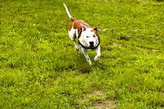 O cão está jogando no campo fotografia de stock