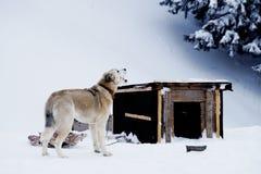 O cão está mastigando um osso perto da cabine no inverno Fotos de Stock Royalty Free
