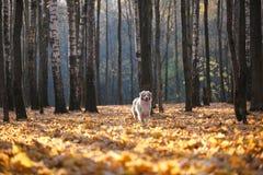 O cão está na folha caída do outono no parque para uma caminhada durante o por do sol fotos de stock