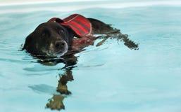 O cão está nadando na piscina Imagens de Stock