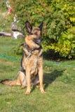 O cão está olhando Fotos de Stock Royalty Free