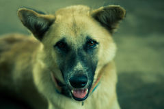 O cão está olhando a câmera Fotografia de Stock Royalty Free