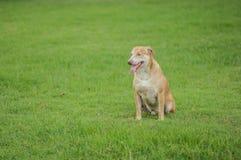 O cão está olhando sobre em outra parte na grama Fotografia de Stock