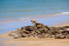 O cão está a ponto de saltar abaixo das rochas na praia Imagem de Stock Royalty Free