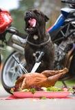 O cão está sentando-se na frente do peru grande Imagem de Stock Royalty Free
