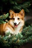 o cão feliz do corgi de Galês senta-se em ramos do abeto verde no fundo imagem de stock