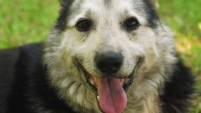 O cão feliz encontra-se no gramado na máscara que despeja sua língua video estoque