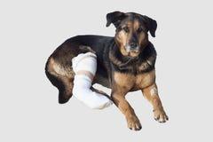 O cão ferido, um pé quebrado, cão eyes Fotos de Stock Royalty Free