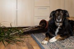 O cão fez algo Fotos de Stock Royalty Free