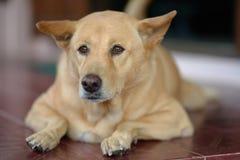 O cão gordo marrom branco está olhando Foto de Stock