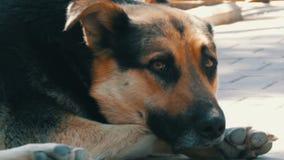 O cão grande bonito desabrigado encontra-se em uma rua da cidade video estoque