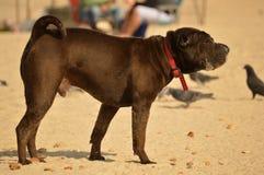O cão grande está na areia Fotos de Stock Royalty Free