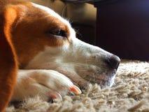 O cão grande-eyed dorme olhando para a frente no tapete cinzento fotografia de stock