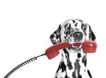 O cão guarda o telefone em sua boca Fotos de Stock Royalty Free