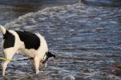 O cão investiga ondas no lago na costa do superior Foto de Stock