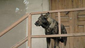 O cão irritado guarda a casa nas etapas, Mestia, Geórgia video estoque