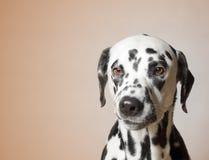 O cão irritado sombrio olha infeliz Foto de Stock