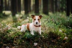 O cão Jack Russell Terrier anda na natureza fotografia de stock royalty free