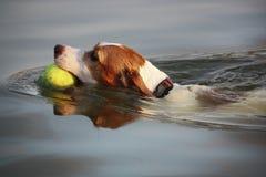 O cão joga a bola Imagem de Stock Royalty Free