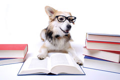 O cão lê o livro Fotos de Stock Royalty Free