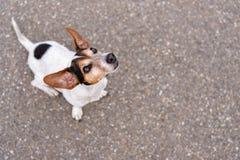 o cão Liso-de cabelo de Jack Russell Terrier está olhando acima imagem de stock