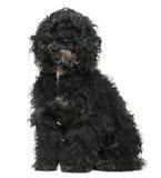 O cão maltês misturou com uma caniche, 11 anos velha Imagens de Stock Royalty Free