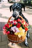 O cão mantém-se na cesta dos dentes com flores Fotos de Stock