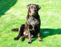 O cão maravilhoso, o Labrador Fotografia de Stock Royalty Free