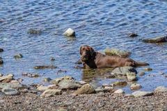 O cão marrom grande está encontrando-se na água Imagens de Stock Royalty Free