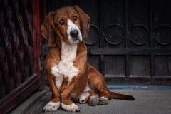 O cão marrom pequeno bonito defende a porta da casa fotografia de stock