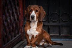 O cão marrom pequeno bonito defende a porta da casa imagens de stock royalty free
