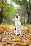 O cão masculino amarelo e cinzento do híbrido está sentando-se nas folhas de outono Fotografia de Stock Royalty Free