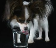 O cão masculino novo bonito Toy Spaniel Papillon continental bebe a agua potável de um vidro no fundo preto fotos de stock