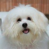 O cão minúsculo da raça do cachorrinho do tzu de Shih, envelhece 6 meses, jocosidade, loveli imagem de stock